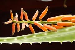 Fiore fresco organico di Vera dell'aloe con la foglia Fotografia Stock