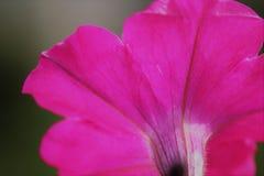 Fiore fucsia della petunia Fotografie Stock Libere da Diritti