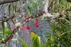 Fiore fucsia di boliviana su Inca Trail a Machu Picchu nel Perù Fotografie Stock