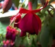 Fiore fucsia porpora naturale dell'orecchino fotografia stock libera da diritti