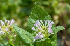 Fiore fuori di Dacca, manikganj, Bangladesh del tabacco Immagine Stock Libera da Diritti