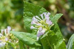 Fiore fuori di Dacca, manikganj, Bangladesh del tabacco Fotografia Stock Libera da Diritti