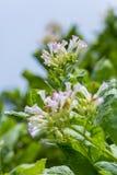 Fiore fuori di Dacca, manikganj, Bangladesh del tabacco Immagine Stock