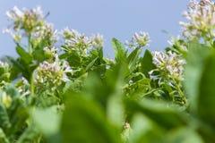 Fiore fuori di Dacca, manikganj, Bangladesh del tabacco Immagini Stock