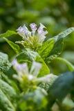 Fiore fuori di Dacca, manikganj, Bangladesh del tabacco Fotografie Stock Libere da Diritti