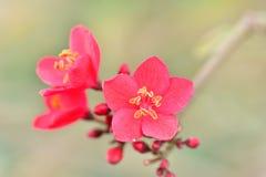 Fiore generoso o colore rosso sugli alberi a tempo di molla nei giardini Immagine Stock
