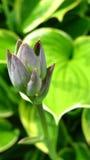 Fiore germogliante Fotografie Stock