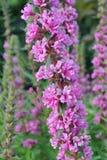 Fiore germogliante del fiore rosa alto della malvarosa e primo piano fertile della pianta verde Fotografia Stock Libera da Diritti