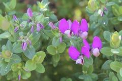 Fiore germogliante porpora Immagine Stock