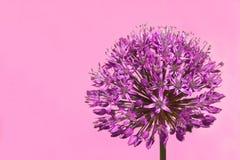 Fiore germogliante viola dell'allium Immagini Stock Libere da Diritti