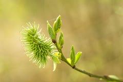 Fiore giallastro del salice Immagine Stock