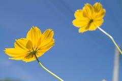 Fiore giallo Immagini Stock Libere da Diritti