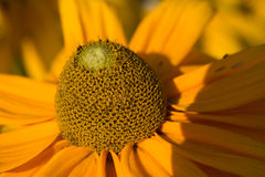 Fiore giallo Fotografia Stock Libera da Diritti
