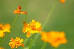 Fiore giallo Immagine Stock Libera da Diritti