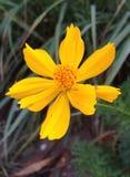 Fiore giallo Fotografie Stock