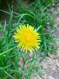 Fiore giallo alla via fotografie stock libere da diritti