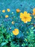 Fiore giallo arancione Fotografie Stock Libere da Diritti