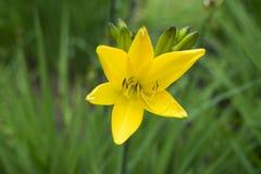 Fiore giallo arancione del giglio Fotografie Stock