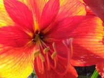 Fiore giallo arancione rosso di scoppio della stella Fotografie Stock