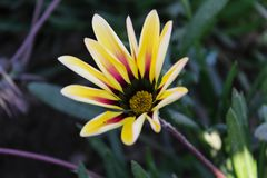 Fiore giallo asiatico fotografie stock libere da diritti