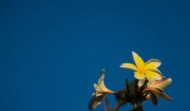 Fiore giallo bianco del frangipane Fotografia Stock