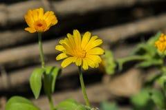 fiore Giallo-caldo del tagete Fotografia Stock