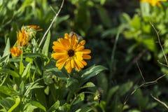 fiore Giallo-caldo del tagete Immagini Stock