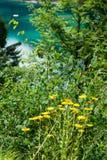 Fiore giallo che fiorisce davanti al lago alpino Immagine Stock