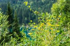 Fiore giallo che fiorisce davanti al lago alpino Immagini Stock Libere da Diritti