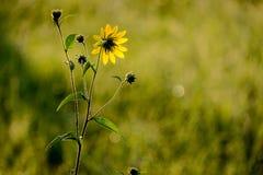 Fiore giallo che guarda l'alba Fotografie Stock