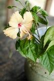 Fiore giallo-chiaro dell'ibisco in Asia tropicale Fotografia Stock Libera da Diritti