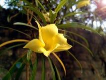 Fiore giallo con il chiarore della lente Immagine Stock Libera da Diritti