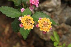 Fiore giallo con il rosa Immagine Stock Libera da Diritti