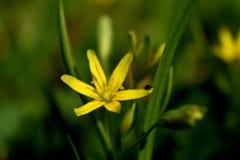 Fiore giallo con l'insetto Fotografie Stock Libere da Diritti
