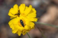 Fiore giallo con la fine dell'ape sulla macro Fotografie Stock