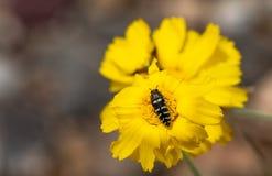 Fiore giallo con la fine dell'ape sulla macro Fotografia Stock Libera da Diritti