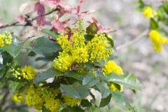 Fiore giallo con le foglie sui precedenti del parco Bello primo piano giallo del fiore su un fondo verde Fotografia Stock