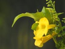 Fiore giallo con le foglie verdi Fotografia Stock