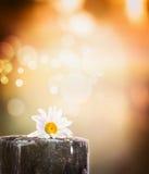 Fiore giallo con le foglie verdi sul fondo naturale di luce solare fotografia stock libera da diritti