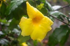 Fiore giallo con le gocce di acqua su fondo verde immagini stock