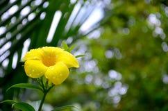 Fiore giallo con le gocce di rugiada Fotografia Stock Libera da Diritti