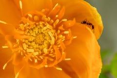 Fiore giallo con una formica su un petalo, vista superiore, primo piano Immagini Stock Libere da Diritti