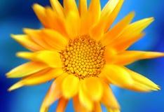 Fiore giallo contro cielo blu Immagine Stock