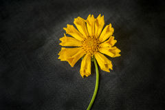Fiore giallo d'oscillazione Fotografie Stock