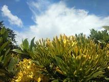 Fiore giallo dall'Indonesia fotografia stock libera da diritti