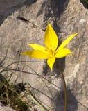 Fiore giallo davanti alla roccia Immagini Stock Libere da Diritti