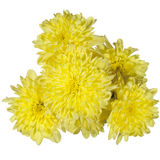 Fiore giallo dei crisantemi Fotografia Stock Libera da Diritti
