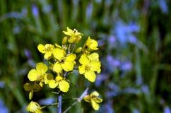 Fiori Gialli Germania.Fiore Giallo Dei Semi Di Ravizzone In Germania Fotografia Stock