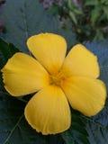 Fiore giallo del bordo della strada Fotografia Stock Libera da Diritti