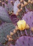 Fiore giallo del cactus su fondo delle foglie porpora coperte di spine del cactus fotografia stock libera da diritti